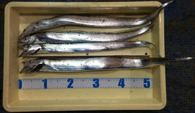 <p>小浜様 沖の北 ウキ釣り タチウオ4匹</p> <p>アタリが出てからのかけ引きを工夫し、確実に針掛かりさせております。釣果情報提供にご協力頂き、ありがとうございます。</p>