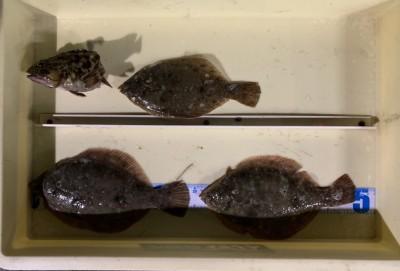 <p>濱様 沖の北 投げ釣り/青イソメ カレイ24cmまでを3枚・ガシラ</p> <p>朝一から頑張って頂き、たいへんお疲れ様でした。カレイ釣果でスタンプ1個進呈です♪</p>