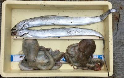 <p>八尾様 沖の北 ワインド・タチウオ2匹 タコエギ・タコ2杯</p> <p>アタリは多かったようですが、なかなか乗らなかったとの事です。タチウオ釣果でスタンプ1個進呈♪ 沖の北、タコ好調ですね。</p>