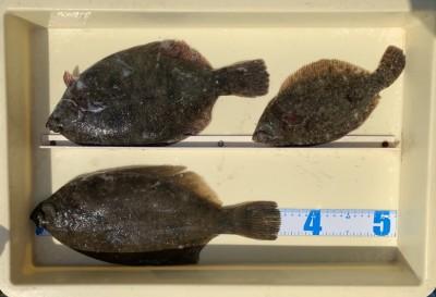 <p>中畑様 沖の北 投げ釣り カレイ35.5cmまでを3枚</p> <p>いいサイズのカレイが上がりましたよ。夜が明けてからアタリがあったそうです。</p>