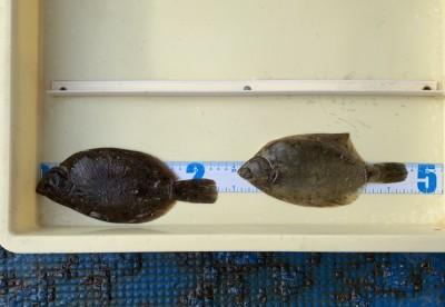 <p>奥野様 沖の北 投げ釣り/青イソメ カレイ23cmまでを2枚</p> <p>朝一から頑張って頂きました。カレイ釣果でスタンプ1個進呈です♪</p>