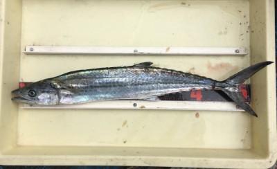 <p>村田様 沖の北 のませ釣り サゴシ50cmオーバー</p> <p>今日はサゴシのアタリが多かったとの事です。いつも釣果情報提供にご協力頂き、ありがとうございます。</p>