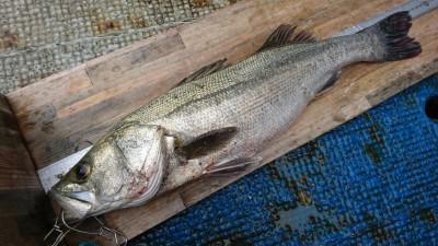 <p>新名様 沖の北 早朝にメジロをゲットされていましたが、さらに良型ハネ66㎝を追加!のませ釣りでの釣果です。</p>