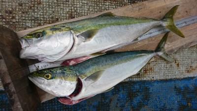 <p>M様 沖の南 のませ釣りで67㎝までのメジロを2匹!8時半と10時頃に釣れたそうです。</p>
