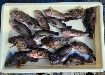 <p>永峰様 旧一文字 さぐり釣り ガシラ・メバル多数</p> <p>タコ狙いだけでなく、根魚も大漁です。大きいのは20cmを超えております。流石ですね♪</p>
