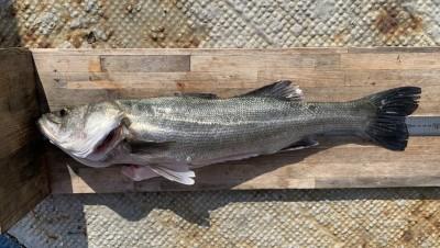 <p>村田様 沖の南 のませ釣り ハネ67.0cm</p> <p>10時頃に釣られております。その直後に青物がHitするも惜しくもラインブレイク。リベンジお待ちしてますよ♪</p>