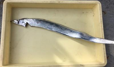 <p>森本様 沖の北 タチウオゲッター/キビナゴ タチウオ</p> <p>今朝は少し厳しかったようですね。夕マズメの釣果に期待しましょう。</p>