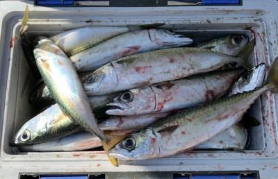 <p>森田様 沖の北 サビキ釣り 中サバ大漁</p> <p>13Lのクーラーが満タンですよ♪ 25~30cmサイズを50匹程釣られております。タナは中層、ウキ無しの竿下で狙えます。サバファンの皆様、今が狙い目ですよ♪</p>