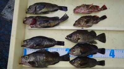 <p>藤本様 沖の北 エビ撒き釣り メバル/ガシラGET</p> <p>エビ撒きの面白い季節になりましたね(^^♪おめでとうございます!</p>
