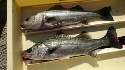 <p>ハネ研山本様 旧一文字赤灯 エビ撒き釣りでハネ2匹!8時と10時にヒットしたそうです。最近は時合いがちょっと遅めですね。</p>
