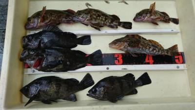 <p>福山様 旧一文字白灯 エビ撒き釣りで良型メバルとガシラとアイナメ!旧一文字にも良型メバルいるんですね♪25㎝もありましたよ。根魚好調です。</p>