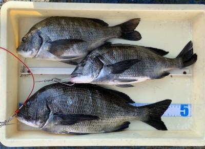 <p>柳本様 中波止 フカセ釣り/オキアミ チヌ46.0cmまでを3枚</p> <p>この時期に釣れるチヌは良型揃いですね。潮が透けていたとの事で、ハリス1号に変えてからアタリ始めたようです。お見事!! チヌ釣果でスタンプ1個進呈です。</p>