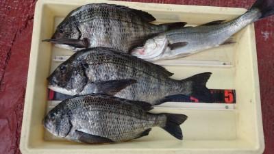 <p>濱本様 沖の北 フカセ釣り チヌ~45.5cmまで3尾 ハネGET</p> <p>チヌはコンディション良いですね(^^♪ハネもフカセで釣れたそうです!おめでとうございます</p>