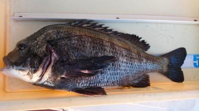 <p>フィッシングマックス森様 沖の北 フカセ釣り チヌ45.5cmGET</p> <p>沖の北のオイルフェンス付近での釣果です!フカセの方はオススメですよ!</p>
