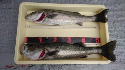 <p>松下様 沖の北 エビ撒き ハネ~60.5cmまで2尾GET</p> <p>少しずつですが温かくなってきたので、魚の姿も増えてきましたね(^^♪おめでとうございます!</p>