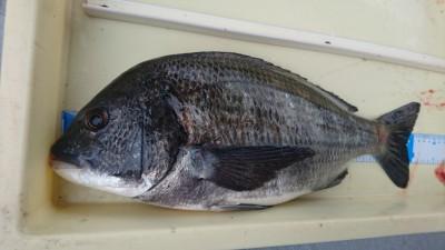 <p>稲田様 沖の北 フカセ釣り 良型チヌGET</p> <p>チヌは型が良いですね(^^♪おめでとうございます!</p>