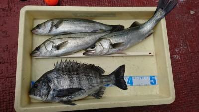 <p>福山様 沖の北 エビ撒き釣り チヌ40㎝と50㎝までのハネ3匹!冷え込んではいますが魚達は元気なようですね。</p>
