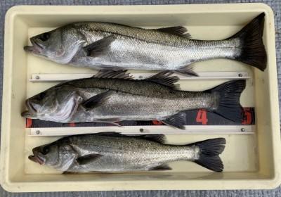 <p>三谷様 沖の北 エビ撒き釣り ハネ56.5cmまでを3匹</p> <p>いいサイズのハネが上がっていますよ。沖の北先端階段付近で釣られております。セイゴサイズもかなり多かったとの事です。ハネ釣果お持込みでスタンプ1個進呈です。</p>