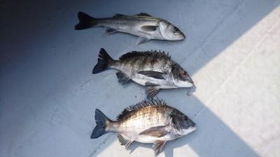<p>福山様 沖の北 エビ撒き ハネ/チヌGET</p> <p>3月もハネ/チヌの釣果で来店スタンプGETです(^^♪おめでとうございます!</p>