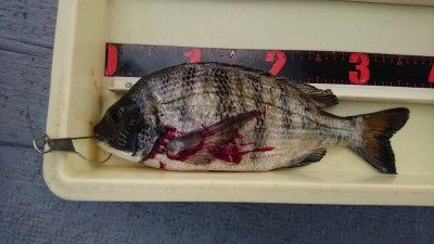 <p>大谷様 沖の北 フカセ釣り チヌGET</p> <p>今日はチヌGETですね(^^♪おめでとうございます!</p>