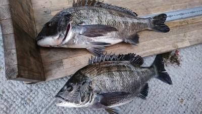 <p>菅原様 沖の北 エビ撒き釣りで44㎝までのチヌ2匹!ハネ研様例会での釣果です。休船続きで釣果が少なくなっていましたが魚はちゃんといますよ♪</p>