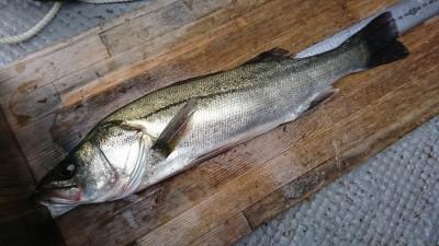 <p>三谷様 中波止2番北 エビ撒き釣りで42.5㎝のハネ!ハネ研様例会での釣果。ハネ・チヌでスタンプ1個進呈♪</p>