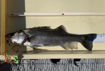 <p>宮田様 沖の北 エビ撒き釣り ハネ43cm</p> <p>今日は少し厳しかったようですが、きっちり釣られてますよ。7時頃にHITしたとの事です。ハネ釣果お持込みでスタンプ1個進呈です。</p>
