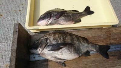 <p>福山様 沖の北 エビ撒き釣りで47.4㎝までのチヌ2匹!めちゃくちゃ太ってました。太りすぎ。今のチヌは臭みも全くなく美味しいのでぜひ食べてみてください。</p>