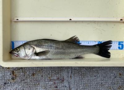 <p>左海様 沖の北 エビ撒き釣り ハネ46.0cm</p> <p>今朝は餌取りが多く苦戦されていましたが、きっちり本命を釣られてますよ。</p>