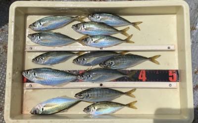 <p>若さん 沖の北 サビキ釣り アジ</p> <p>一番大きなサイズは飛ばしサビキで釣られたそうです。</p> <p></p> <p></p>