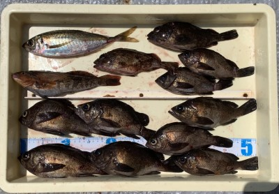 <p>水島様 沖の北 サグリ釣り メバル23cmまでを9匹・アイナメ・ガシラ・中アジ</p> <p>良型のメバルを釣られております。根魚も丹念に攻めれば良い釣果が出ますね♪ 流石です! いつも釣果情報提供にご協力頂き、ありがとうございます。</p>
