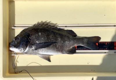 <p>森田様 旧一文字 落とし込み釣り/パイプ虫 チヌ42.5cm</p> <p>5/5に年無しを釣られた森田様。今日は少し厳しかったようですが、きっちり釣果を出されてます。</p>