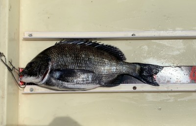 <p>山本(智)様 沖の南 エビ撒き釣り チヌ33.0cm</p> <p>エビ撒きのチヌがいい感じですね♪ いつも釣果情報提供にご協力頂き、ありがとうございます。</p>