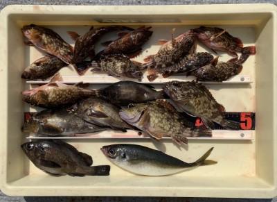 <p>川原様 沖の北 エビ撒き釣り メバル・アイナメ・ガシラ・アジ</p> <p>エビ撒きで4目達成! アジは27cmありましたよ。</p> <p>いつも釣果情報提供にご協力頂き、ありがとうございます。</p>