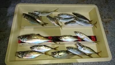 <p>川崎様 沖の北 サビキ 中アジ/アジGET</p> <p>コチラもアジの釣果です!おめでとうございます(^o^)v</p>