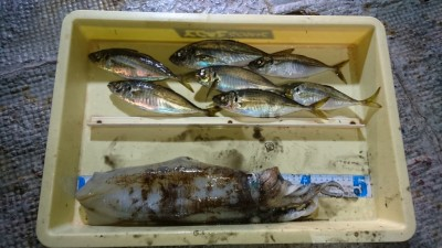 <p>磯田様 沖の北 サビキ アオリイカ1060g/アジGET</p> <p>アオリイカもサビキで釣れたそうです(^_^;)岸和田にもアオリイカいてるんですね!おめでとうございます</p>