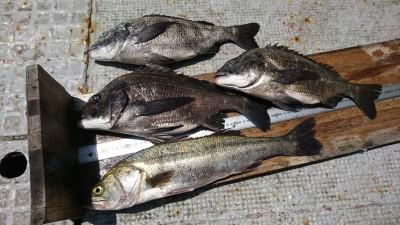 <p>福山様 沖の北 エビ撒き釣り ハネ55㎝までを3匹とチヌ46.5㎝までを4匹!小さいサイズはリリースしたそうです。オイルフェンス付近での釣果ですが、今日は釣れた棚がなんと2ヒロ!かなり浅めです。やはりいろいろ探らないといけませね。</p>