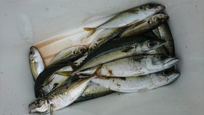 <p>荒木様 沖の北 サビキ釣りで中アジと中サバ!回遊量にちょっとムラがあるようですが今日も釣れてましたよ♪しっかりエサを撒いて、棚を探ってくださいね。のんびりしてると釣れませんよ~。</p>