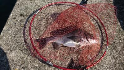 <p>旧一文字リアルタイム! カーブ付近でふかせ釣りをしている方のヒットシーンに遭遇!これで5枚目とのこと。15mくらい投げて棚は底だそうです。この調子なら二桁いくかも♪</p>