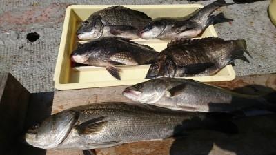 <p>福山様 沖の北 エビ撒き釣りで57㎝までのハネ2匹と44.5㎝までのチヌ4匹!チヌは良型揃いですね。昨日に続き好調です。産卵し終わったチヌが増えてきました。</p>
