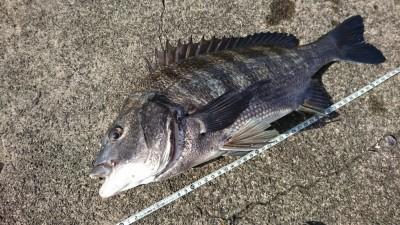 <p>スタッフ児玉 旧一文字カーブ 落とし込み/パイプ チヌ46㎝!「底で食ってました……」今日はカーブから白灯がいいみたいです。他の方もよく釣られております。ふかせ釣りの方は6枚。</p>