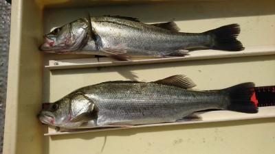 <p>岡本様 沖の北 (先端より内向き) エビ撒き釣りでハネ40.5㎝!ムニエルにするとほわほわでかなり美味です。</p>