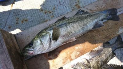 <p>川原様 沖の北 エビ撒き釣り ハネ59㎝!5日に68㎝をあげてますし今月は調子いいですね。根魚もお願いします♪</p>