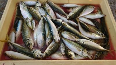 <p>マックススタッフ岡田さん 沖の北 サビキ釣りでアジ・マイワシ大漁!15時~18時での釣果です。</p>