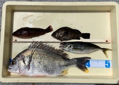 <p>愛甲様 沖の北 エビ撒き釣り キビレ42.0cm・中アジ・アイナメ・メバル</p> <p>いいサイズのキビレですね♪ 他にも美味しい魚を釣られていますよ。</p>