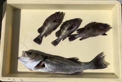 <p>菅原様 沖の北 エビ撒き釣り ハネ44.0cm・メバル22.0cmまでを4匹</p> <p>今朝は良型のメバルが良く釣れましたね♪ いつも釣果情報提供にご協力頂き、ありがとうございます。</p>