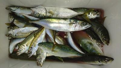 <p>川崎様 沖の北 サビキ アジ/サバ/ツバスGET</p> <p>サビキは色々釣れますね(^o^)vおめでとうございます</p>