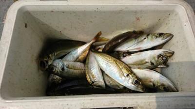 <p>荒木様 旧一文字赤灯 サビキ釣りで中アジ!2番船から9時までの釣果です。赤灯もいい感じです。7時を過ぎてもぽつぽつと釣れてましたよ。</p>