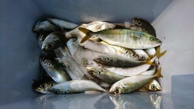 <p>氏川様 沖の北 サビキ釣りで中アジとツバス!朝の釣果です。今日は豆サバがけっこういたので中アジは釣りにくかったですね。重たいカゴ(15~20号)で一気に底まで落としましょう!</p>