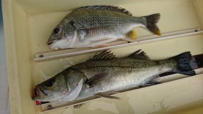 <p>左海様 沖の北 エビ撒き釣りでハネ45㎝とキビレ34㎝!セイゴも沢山釣れたそうです。</p>